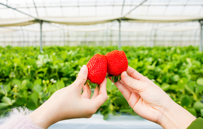 2018】Only from January to early May! Do Strawberry-Picking in