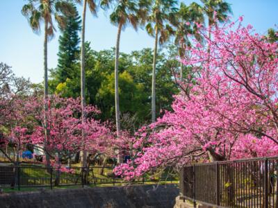 """【2020年】""""搶先賞櫻"""" 去看日本最早的櫻花吧♪沖繩賞櫻景點&櫻花祭情報懶人包"""