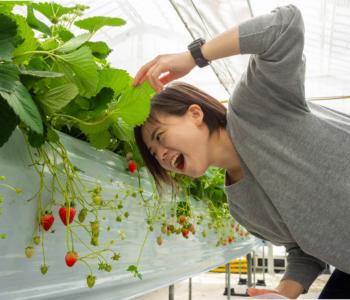 【2019年】在沖繩採草莓!5種品種吃到飽!向您介紹傳說中的「美麗草莓園」!