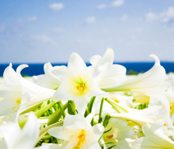 沖縄GWは日帰りバスツアーで「伊江島ゆり祭り」へ!
