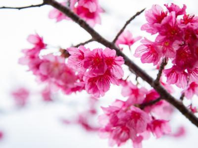【2020年版第2弾】ひと足お咲きに春を見に行こう♪沖縄の桜まつり&桜スポット紹介!